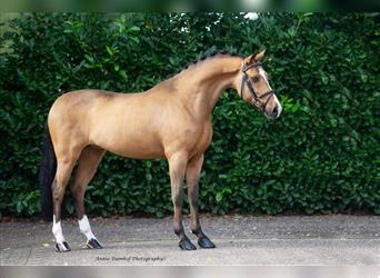 New Forest Pony, Gelding, 9 years, 14.2 hh, Brown