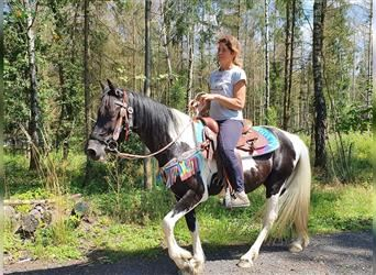 Pintos, Gelding, 7 years, 14.1 hh, Pinto