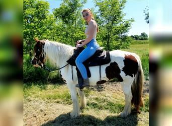 Gypsy Horse, Mare, 5 years, 15 hh, Brown