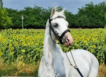 More ponies/small horses, Mare, 12 years, 13.1 hh, White