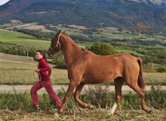 Akhal-Teke, Mare, 4 years, 15.2 hh, Chestnut-Red
