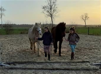Curly Horse Mix, Wallach, 2 Jahre, 142 cm, Palomino
