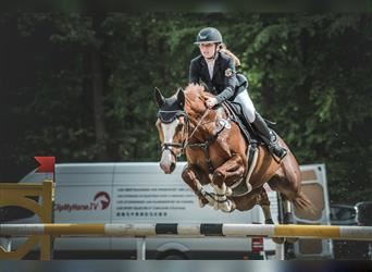German Sport Horse, Mare, 12 years, 15.2 hh, Chestnut-Red
