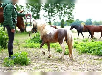 American Miniature Horse, Hengst, 3 Jahre, 84 cm, Tobiano-alle-Farben