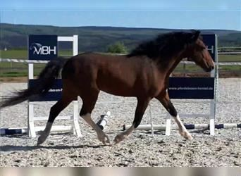 Curly Horse, Hengst, 7 Jahre, 152 cm, Tobiano-alle-Farben