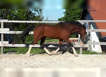 Curly horse, Stallion, 7 years, 14.3 hh, Tobiano-all-colors