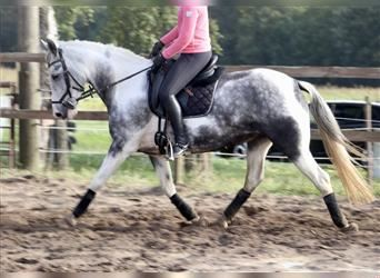 Andalusian Mix, Mare, 7 years, 15.3 hh, Roan-Blue
