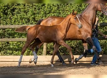 Anglo European Studbook, Mare, Foal (04/2021), Chestnut-Red