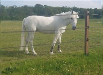 French riding pony, Gelding, 12 years, 14.1 hh, Gray