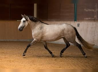 Lusitano, Mare, 6 years, 15.1 hh, Brown Falb mold