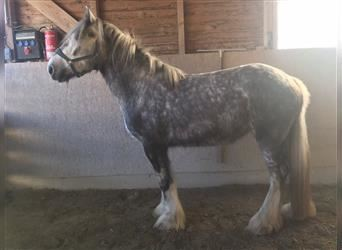 Shire Horse, Mare, 2 years, Gray