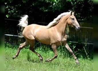 Andaluces, Yegua, 5 años, 154 cm, Palomino