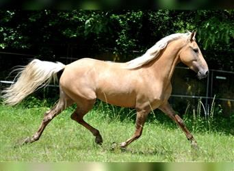 Andalusian, Mare, 5 years, 15 hh, Palomino