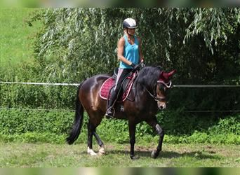 New Forest Pony, Mare, 8 years, 14.1 hh, Brown