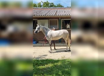 P.R.E. Mix, Mare, 5 years, 15.2 hh, Gray-Red-Tan