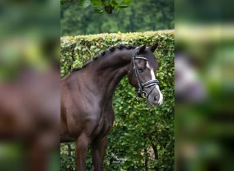 Welsh D (Cob), Mare, 8 years, 14 hh, Black