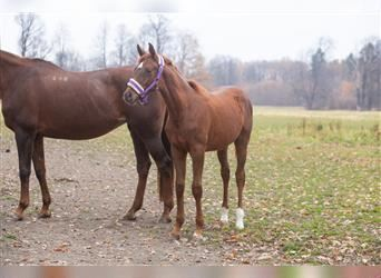 Polish Halfbred, Mare, Foal (03/2021), Chestnut-Red