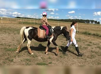 Welsh B Mix, Mare, 13 years, 12.1 hh, Pinto