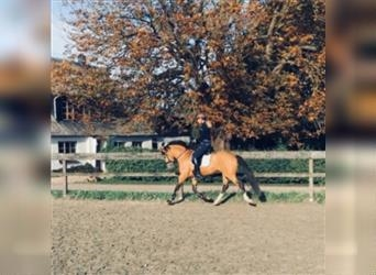 German Riding Pony, Gelding, 7 years, 14.1 hh, Champagne