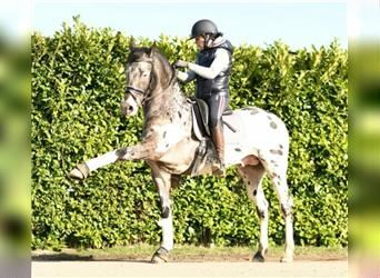 Other Warmbloods, Mare, 1 year, 14.2 hh, Pinto
