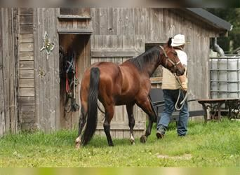 Paint Horse, Gelding, 3 years, 14.1 hh, Brown
