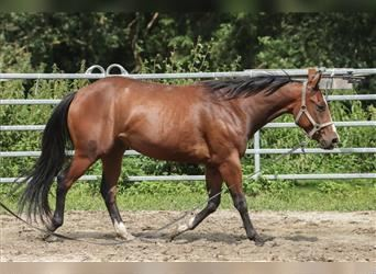Paint Horse, Gelding, 3 years, 14.2 hh, Brown