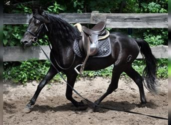 Andalusier, Wallach, 4 Jahre, 154 cm, Rappe