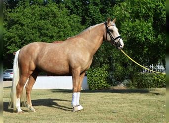 Andalusier Mix, Wallach, 7 Jahre, 163 cm, Palomino