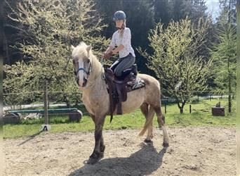 Criollo Mix, Gelding, 15 years, 14.2 hh, Palomino