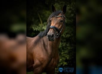 Hungarian Sport Horse, Mare, 10 years, 14.3 hh, Brown