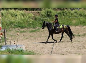 Tennessee walking horse Mix, Mare, 11 years, 15 hh, Bay-Dark
