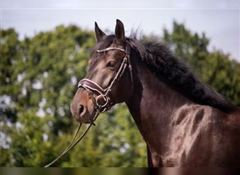 More ponies/small horses, Mare, 6 years, 14.3 hh, Bay-Dark