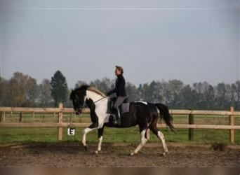 Trakehner, Mare, 10 years, 16.1 hh, Pinto