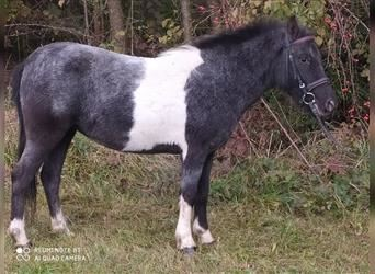 Shetland Ponies, Mare, 4 years, 10.2 hh, Pinto