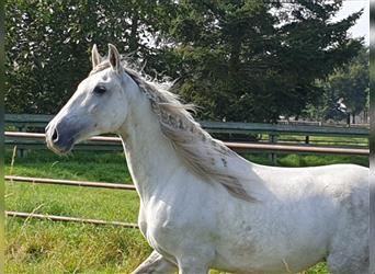 Andalusian Mix, Gelding, 9 years, 15.2 hh, Gray-Dapple