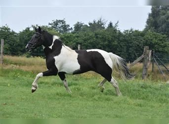 Paint Horse, Mare, 8 years, 14.2 hh, Pinto
