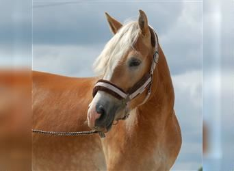 Haflinger, Mare, 3 years, 15.1 hh