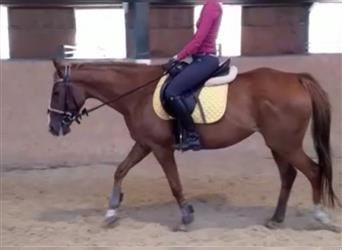 French Trotter, Mare, 13 years, 14.2 hh, Chestnut-Red