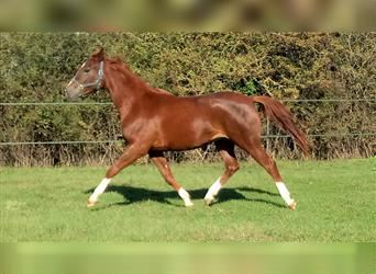 Arabian horses, Mare, 4 years, 15.2 hh, Chestnut-Red