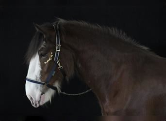 Clydesdale, Gelding, 4 years, 17 hh