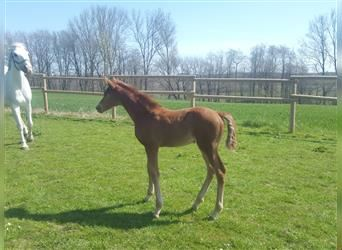 Hanoverian, Mare, Foal (03/2021), Chestnut-Red