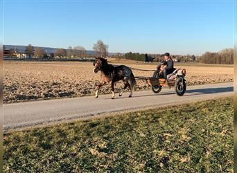 Welsh A (Mountain Pony), Gelding, 3 years, 10.2 hh, Roan-Red