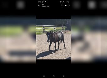 Welsh B, Mare, 2 years, 12.2 hh