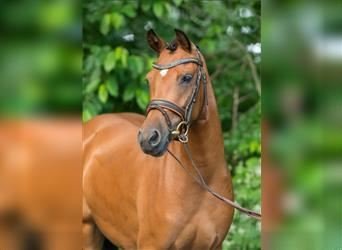 German Riding Pony, Mare, 8 years, Brown
