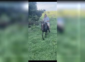 Kentucky Mountain Saddle Horse, Gelding, 12 years, 15 hh, Roan-Red