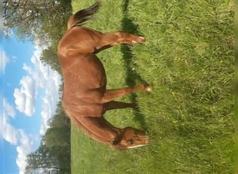 American Quarter Horse, Mare, 1 year, 14.2 hh, Chestnut-Red