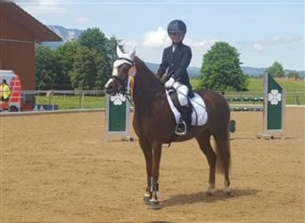 Welsh B, Mare, 11 years, 12.3 hh, Chestnut-Red