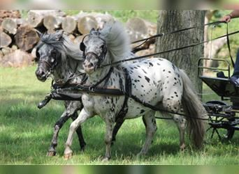 More ponies/small horses, Mare, 9 years, 10.2 hh, Leopard-Piebald