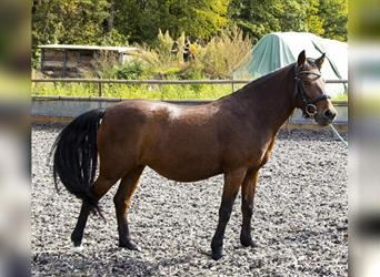 Bosnian Mountain Horse, Mare, 8 years, 12.2 hh, Brown