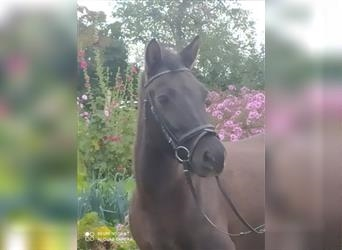 More ponies/small horses, Mare, 7 years, 13.3 hh, Grullo